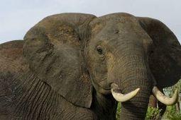 Kenia verliest beroemde olifant aan stropers - Buitenland - Reformatorisch Dagblad | Kenia | Scoop.it