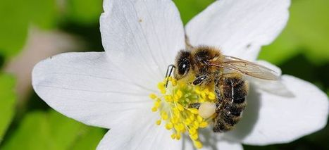 1 000 espèces d'abeilles en France   Culture sciences   Le monde des abeilles   Scoop.it