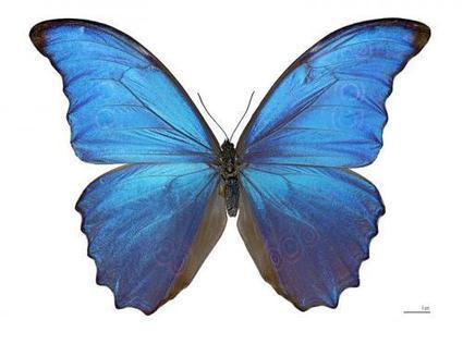 Researchers take Morpho butterfly cells and use them to grow colorful butterfly wings in the lab   Amazing Science   Scoop.it