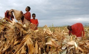 Kenya: Saving Nation's Maize Crop | MAIZE | Scoop.it