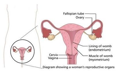What is Menstrual Cycle? | Pregnancy Week By Week Calendar | Scoop.it