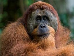 Sumatran orang-utans delay puberty to build up strength - life - 19 May 2012 - New Scientist | Polymerase | Scoop.it