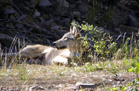 More wolves killed because of the sacred cow at the public trough | Oceans and Wildlife | Scoop.it