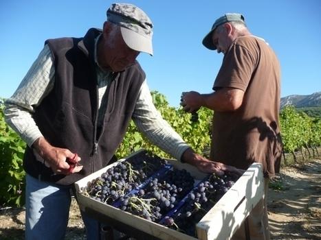 28/11/16 - Vignes résistantes au mildiou et à l'oïdium : qu'en pensent les acteurs ? | INRA Montpellier | Scoop.it