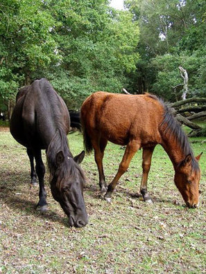 Hampshire's New Forest ponies now a rare breed | Horses  around the world | Scoop.it