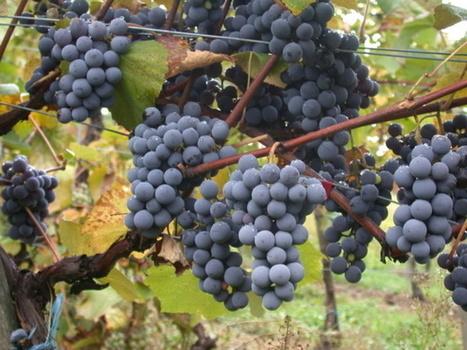 Adapter les vignobles au changement climatique, le défi du Beaujolais | Sustainable imagination | Scoop.it