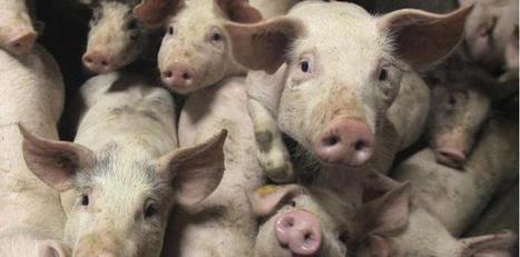 La filière porcine passe à l'abattoir | World Food News | Scoop.it