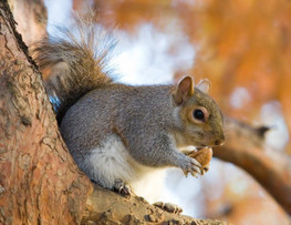 Save Hundreds of Thousands of Squirrels From Being Murdered | GarryRogers Biosphere News | Scoop.it