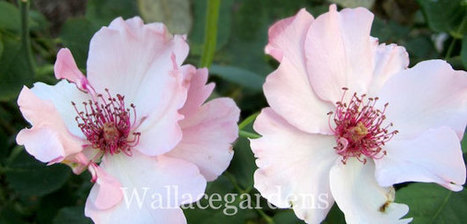 Garden Roses: Types, Roses, Favorites - Bombay Outdoors | Anything Goes in the Garden | Scoop.it
