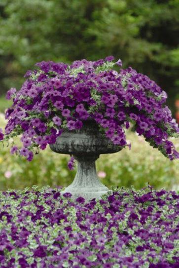 Um jardim para cuidar: É tempo de petúnias... | paisajismo | Scoop.it
