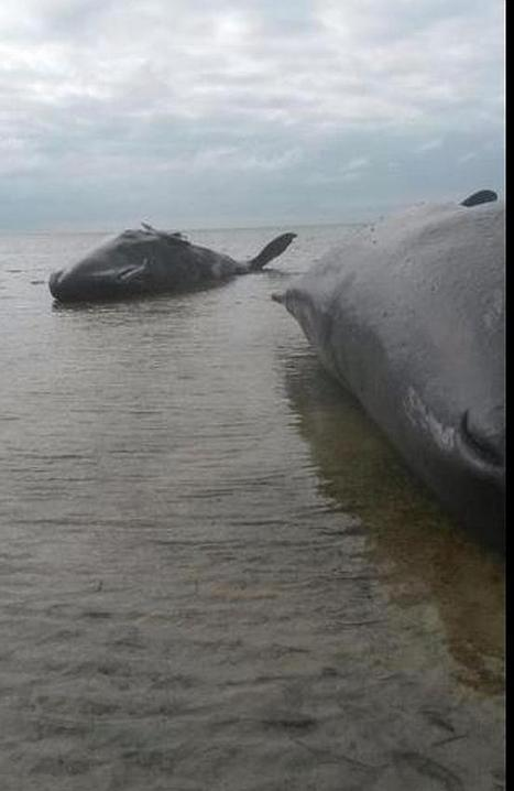 Pod of sperm whales beach themselves in SA | World whale rescue | Scoop.it