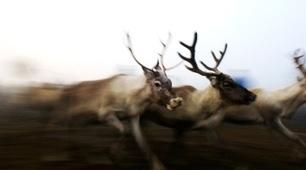 Why reindeer steer clear of power lines | Interesen gunea | Scoop.it