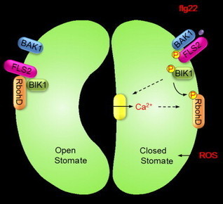 Cell Host and Microbe - The FLS2-Associated Kinase BIK1 Directly Phosphorylates the NADPH Oxidase RbohD to Control Plant Immunity   Plant not-host resistance & basal defense   Scoop.it