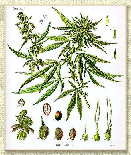 Definitions of Industrial Hemp, Cannabis Sativa, Marijuana, Marihuana   Cannabis Biosynthesis   Scoop.it