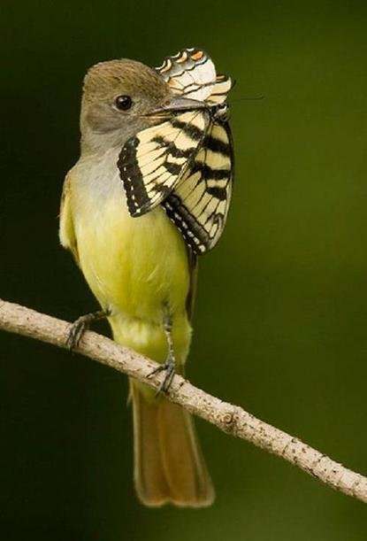 The Great Crested Flycatcher | Gardening Life | Scoop.it