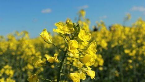 Natural predators could help control aphids   Beet western yellows virus   Scoop.it
