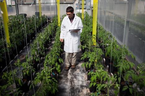 At Monsanto, a new method of plant breeding emerges - Washington Post   Potatoes, breeding and genetics   Scoop.it