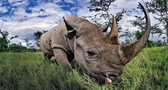 Defending the Rhino | What's Happening to Africa's Rhino? | Scoop.it