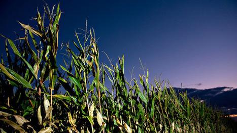 Cosecha mundial de maíz crecerá 10% en 2013/2014 - El Financiero | Ingeniería en Molineria | Scoop.it