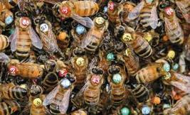 Democracy in honeybees and other animals: What humans can learn from social species.   Animals R Us   Scoop.it
