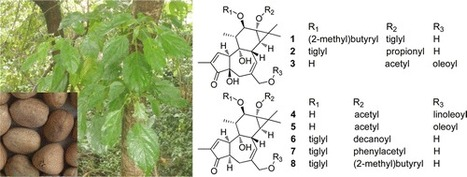 Cytotoxic Phorbol Esters of Croton tiglium | Euphorbia's chemistry and perspectives | Scoop.it