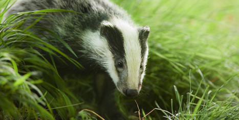 Badgers Take Centre Stage for the Next General Election | wildlife | Scoop.it
