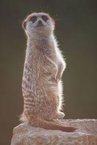Meerkat Facts   Meerkats   Scoop.it
