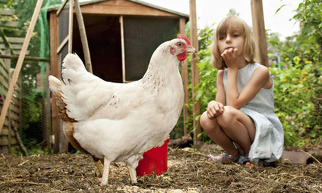 Hens for hire: the chickens teaching children where their food comes from | @FoodMeditations Time | Scoop.it