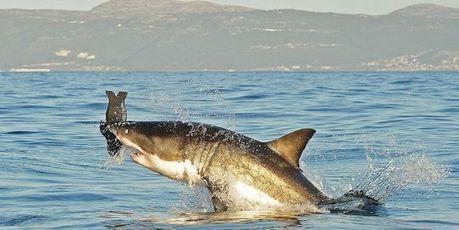 Le grand requin blanc pourrait ne plus être protégé en Australie | Protection des Océans | Scoop.it