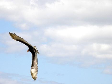 VULTURES | mexiconservacion | Vulture Love | Scoop.it