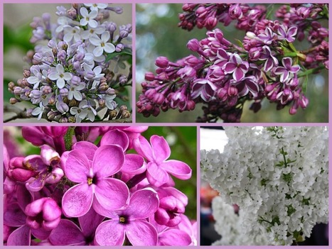 Beautiful and Aromatic Lilacs | Garden and Outdoor Australia 2 | Scoop.it