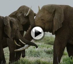 Elephant Guards Murdered in Chad   Wildlife Trafficking: Who Does it? Allows it?   Scoop.it