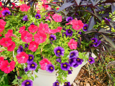 Purple Flower of the Year – Calibrachoa 'Grape Punch' Is The Longest Lasting Annual In My Garden | Annie Haven | Haven Brand | Scoop.it
