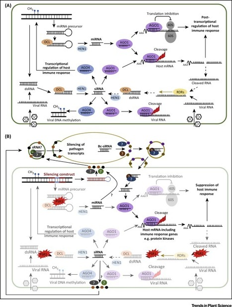 RNA 'Information Warfare' in Pathogenic and Mutualistic Interactions | Emerging Research in Plant Cell Biology | Scoop.it