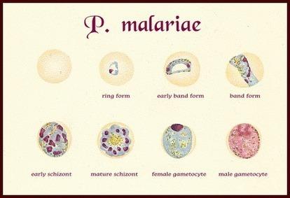 plasmodium malarie   Plasmodium spp.   Scoop.it