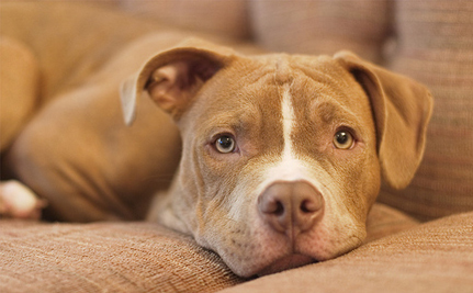 Victory! Massachusetts Bans BSL, Overhauls Animal Protection Laws - Care2.com (blog) | Nature Animals humankind | Scoop.it