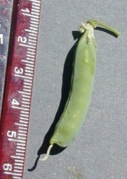 Five peas in a pod | Agricultural Biodiversity | Scoop.it