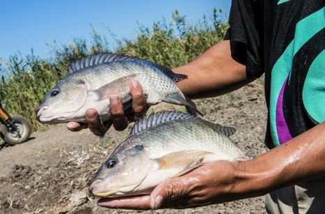 New project to make faster-growing fish available to poor communities | Aquaculture Directory | Aquaculture Directory | Scoop.it