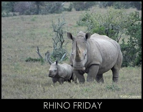 Rhino Fridays - Have we reached the tipping point? | What's Happening to Africa's Rhino? | Scoop.it