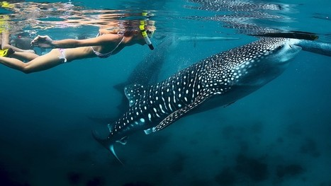 "Swimming with whale sharks in the Philippines - CNN.com (""sharks treated like pets"") 