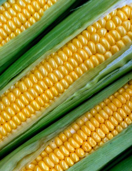 I celiaci assumono troppe tossine presenti nel cibo a base di mais ... | senza glutine | Scoop.it