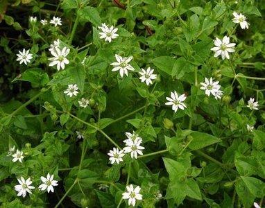 Edible Wild Plants For Your Garden | Diet & Recipes | Scoop.it