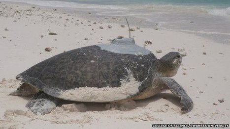 Sea turtle migrates 2,472 miles | Information sur les océans | Scoop.it