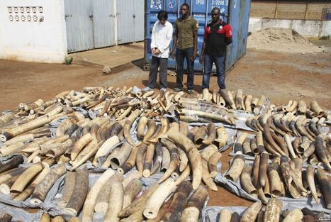 Togo Seizes Nearly 4 Tons of Ivory Headed for Vietnam - Voice of America | Wildlife Trafficking | Scoop.it