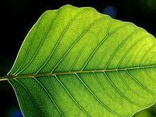 Photosynthèse : une feuille bionique dix fois plus efficace que la nature | Post-Sapiens, les êtres technologiques | Scoop.it