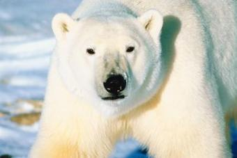 Organizations That Protect Polar Bears | Conservation | Scoop.it