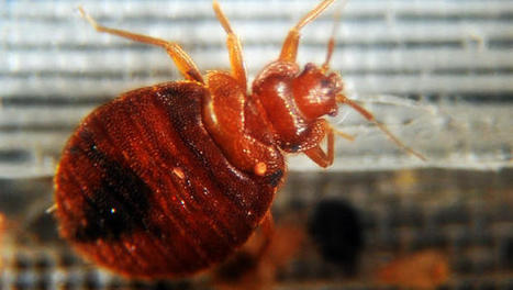 Bed bugs drawn to certain colors, study says | Kickin' Kickers | Scoop.it
