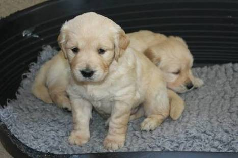 Super adorable Golden Retriever Puppies. | postzoo.com | Scoop.it