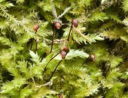Scattering genetically-modified Sphagnum moss can help restore climate and fix carbon dioxide | Amazing Science | Scoop.it
