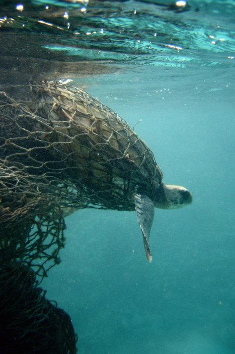 Un constat affligeant : ces menaces mettent sérieusement en péril la survie de la majestueuse tortue de mer | Biodiversité & Relations Homme - Nature - Environnement : Un Scoop.it du Muséum de Toulouse | Scoop.it